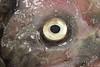 Mystery Oarfish (Scripps_Oceanography) Tags: photooftheweek oarfish seaserpent hjwalker