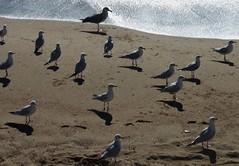 gabbiani (baronerosso1) Tags: mare cannes gulls ombre sole riflessi francia sabbia costaazzurra