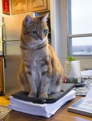 Elsie's Turn (A.Davey) Tags: orangecat elsie rescuecat
