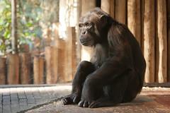 2013-11-10-13h20m31.272P0589 (A.J. Haverkamp) Tags: amersfoort dierentuin dierenparkamersfoort httpwwwdierenparkamersfoortnl thenetherlands chimpansee chimpanzee bini canonef70200mmf28lisusmlens zoo dob101974