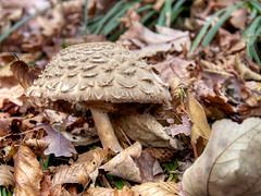 lepiota_Torino2013_PB101070_1 (stegdino) Tags: autumn mushroom autunno fungo gamewinner herowinner pinnacle20131115