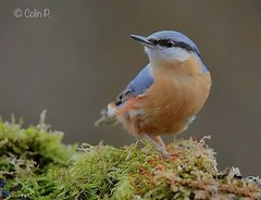 Nuthatch (Sitta europaea) (Col-Page) Tags:
