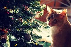 (K. Sawyer Photography) Tags: christmas tree cat christmastree ornaments