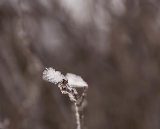 ... ice bud ....