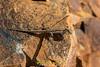 Ornate Tree Lizard (Urosaurus ornatus) (NatureStills) Tags: wild slr nature animal rock fauna sonora mexico back scary highresolution nikon natural outdoor reptile top wildlife border stock nopeople creepy professional mexican international latin northamerica fullframe nikkor dorsal dslr sonoran biology crawling mx identify biological herp d800 herpetology organism coldblooded newworld northernmexico wildlifephotography ectotherm ornatetreelizard urosaurusornatus dorsum naturestills d800e scotttrageser httpwwwnaturestillscom