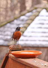 American robin in melting snow (Vicki's Nature) Tags: wood winter orange snow macro bird water robin yard canon dof small gazebo 100mm deck february americanrobin 7466 touchoforange vickisnature t1i pregamesummerwinter