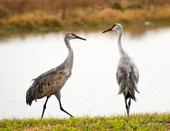Sandhill Crane pair (Ruthie Kansas) Tags: bird florida crane birding melbourne sandhillcrane birdwatcher viera vierawetlands