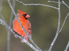 Cardinal (mle) (Anthony Fontaine photographe animalier) Tags: life wild nature cardinal wildlife qubec animaux sauvage 300mmf4 beauport d7100