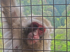 Japanese Macaque, Nihonsaru (Macaca fuscata), adult (ekroc101) Tags: japan arashiyama mammals japanesemacaque macacafuscata