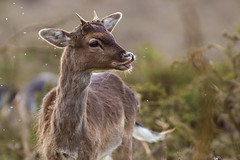 Damn those pesky flies! (Andy & Helen :-) :)) Tags: spring insects fallowdeer cannockchase pricket