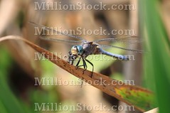 Dragonfly eating a fly (alessandro0770) Tags: life park blue macro green nature up grass animal closeup bug insect real spread fly leaf big wings pond stem colorful dragon close view angle legs bright dragonfly body eating sensitive details tail wing vivid fast front single rest marsh resting aquatic predator multicolored winged creature danae markings articulated striped pest emperor hover eater sulzer odonata anax meadowhawk sympetrum fragility