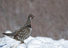 Spruce Grouse....#11 (Guy Lichter Photography - Thank you for 2.8M views) Tags: canada bird birds animal animals canon wildlife grouse manitoba sprague sprucegrouse canon14xteleconverter canonef400mmf56l avianexcellence 5d3 birdperfect amazingwildlifephotography grousespruce