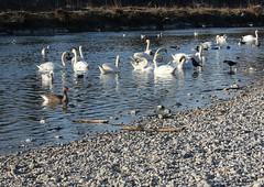 Isarstrand in Thalkirchen (Fotofee1900) Tags: strand mnchen enten isar schwne vision:outdoor=0828