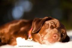 Sleeping on the Snow (KB RRR) Tags: dog snow colorado rockymountains frontrange chocolatelabrador shyla