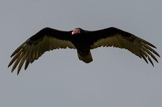 Turkey Vulture_44321.jpg