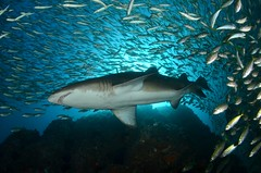695 (Medium) (AussieByron) Tags: nikon southwestrocks strobes ikelite greynurseshark tokina1017mmfisheye fishrock d7000 aquaticahousing ds161 wwwsouthwestrocksdivecentrecomau