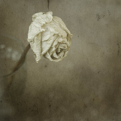 a withered rose forgets what it wept for day after day (charisse joy photography) Tags: rose vintage witheredrose wiltedrose fineartrose charissejoyphotography