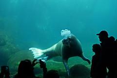 Tropen Aquarium Hagenbeck – Hamburg (Magdeburg) Tags: zoo aquarium pacific hamburg tropical tierpark walrus hagenbeck walross tropen tierparkhagenbeck pacificwalrus tropicalaquarium zoohamburg tropenaquarium tropenaquariumhagenbeck pazifischeswalross tropicalaquariumhagenbeck pazifisches