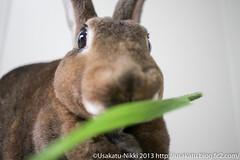 IMG_9076-2 (Rabbit's Album) Tags: pet cute rabbit bunny animals  wooly choco   minirex     canonx7i x7i efs24mmf28stm  freshtimothy
