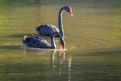 Cisne (zemengao1964) Tags: tanguá riodejaneiro brasil cisnes swans