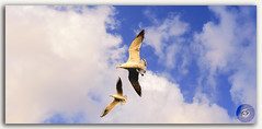 Seagulls in flight! (KSPhotography!) Tags: seagull flying white warm bluesky fly above air animal bird bright clouds feather flight free freedom concept gliding gull independence large nature nobody outdoors purity soar soaring space spread sun sunlight wild wildlife wing sunny action background ecology elegant fishing life peace ocean seabird shore summer weather wingspread looking