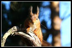 IMG_0039 Red Squirrel (Scotchjohnnie) Tags: redsquirrel sciurusvulgaris squirrel rodent mammal wildanimal wildlife nature naturewildlifeandbirds northeastengland canon canoneos canon7dmkii canonef100400f4556lisiiusm scotchjohnnie animal closeup