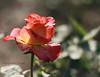 I'll still feel you here 'til the moment I'm gone... (Můnz) Tags: pakistan orange flower rose 50mm flora punjab ppg munz islamabad ppa 50d canoneos50d canon50d flowerexibition munazzaanwaar munazzaanwaarphotography