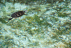 terrapin_marble (feeblehuman) Tags: pool swimming algae marbled turin terrapin