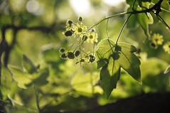 in the light (christiaan_25) Tags: flowers light shadow sunlight green leaves sunshine backlight spring maple glow bokeh may photoaday veins lobes mortonarboretum miyabemaple fmsphotoaday