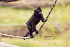 Just walking. (Raveniith) Tags: wild black nature animal photography zoo sweden wildlife rope climbing ape primate grabbing canon60d