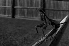 mantis - UHF monster movie variety (fallsroad) Tags: blackandwhite bw mantis insect prayingmantis panasoniclumixfz30 jenksoklahoma