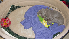 Ida & the BiG bed  (m+m+t) Tags: newzealand dog puppy weimaraner pup ida mmt