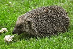Another visitor come for breakfast or maybe a snack before bed (petelovespurple) Tags: hedgehog