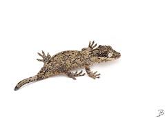 Gargoyle Gecko (jamieb1024) Tags: animal critter lizard gargoyle gecko