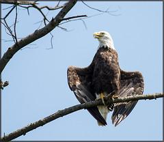 Pennsauken Eagle [Explored!] (MurrayH77) Tags: bridge bird nature river ross eagle cove wildlife bald nj betsy delaware palmyra ridethetide