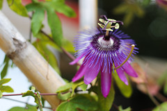 Passion flower (Hannah_Kirkland) Tags: