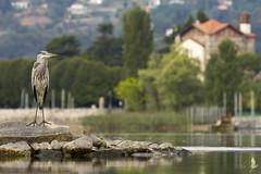 Airone e Santuario [Explored] (_milo_) Tags: italy lake canon lago eos italia lac ardeacinerea maggiore tamron birdwatcher oasi 70300 angera 60d aironecenerino bruschera