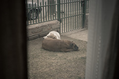 302 / 365. (zamax4) Tags: sleeping dogs window ventana nap sleep hound basset boxer siesta perros durmiendo