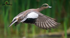 American Widgeon or Baldpate!! (JRIDLEY1) Tags: flying duck wings or amer