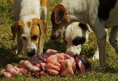 Feral Dogs enjoy a surprise snack - Pantanal Brazil IMGP4431 (Mike07922, 3.6 Million+ Views - thanks guys) Tags: brazil meat pantanal rawmeat pentaxk5