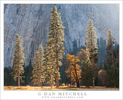Meadow, Trees, Granite Wall (G Dan Mitchell) Tags: california park travel autumn light cliff usa mountain black tree fall nature face wall america print landscape oak rocks afternoon cathedral nevada north stock scenic meadow sierra evergreen national valley yosemite license granite elcapitan range piine