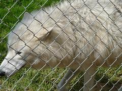 Wolf P11  UK Wolf Conservation Trust (vic1871) Tags: wolf wildanimal vision:outdoor=094 ukconservationwolftrust