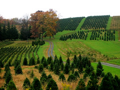 Tree Farm (StateMaryland) Tags: christmas family blue holiday tree pine fur cut farm scotch tradition fraser agriculture spruce mda