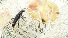 Clerid beetle (John Tann) Tags: december beetle australia nsw coleoptera 2013 jannali cleridae taxonomy:order=coleoptera clerid geo:country=australia angophorahispida clerinae taxonomy:family=cleridae burnumburnumreserve