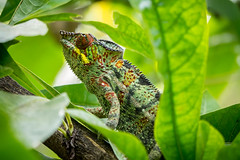 Male chameleon close-up (koalie) Tags: vacation holiday tree reunion animal closeup island leaf colorful branch saintpaul chameleon laréunion endormi calebassier calabashtree lejardindeden lermitagelesbains 2013summervacation