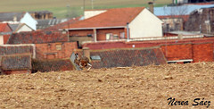 Liebre (Amiga ilusin.) Tags: naturaleza pueblo campo animales velocidad campeonato zamora carreras caza castillaylen aficin galgos camuflaje competicin liebres