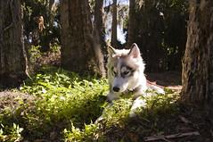 restful (violet crayon) Tags: forest puppy husky break florida hiking trail rest creature mtdora trimblepark