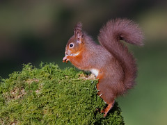 Red Squirrel (Chas Moonie-Wild Photography) Tags: red scotland squirrel chas moonie