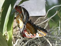 Lacewing Butterfly (Cethosia biblis) mating at Fairchild Tropical Botanic Gardens, Wings of the Tropics (Adam J Skowronski) Tags: mating adults lacewing fairchildtropicalbotanicgarden cethosiabiblis wingsofthetropics