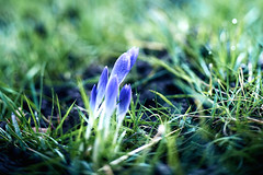 Lensbaby Day 18 (Vlachbild) Tags: flowers nature lensbaby natur crocus environment naturephotography outdoorphotography edge80 sonyslta99
